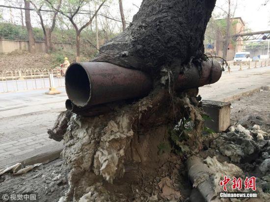 """武汉有棵""""树坚强"""" 树干插钢管还茁壮生长"""