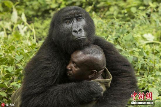刚果大猩猩霸道总裁上身 把饲养员揽进怀里熊抱