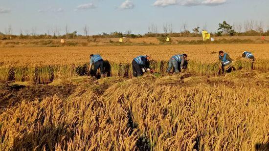 """青岛""""海水稻""""丰收!亩产261.39公斤! 袁隆平:满意不满足"""