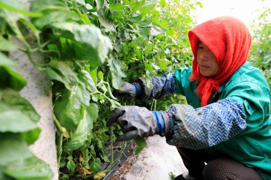 寿光菜农使用惠农e贷资金,租赁蔬菜大棚,在大棚内进行大棚日常劳作。