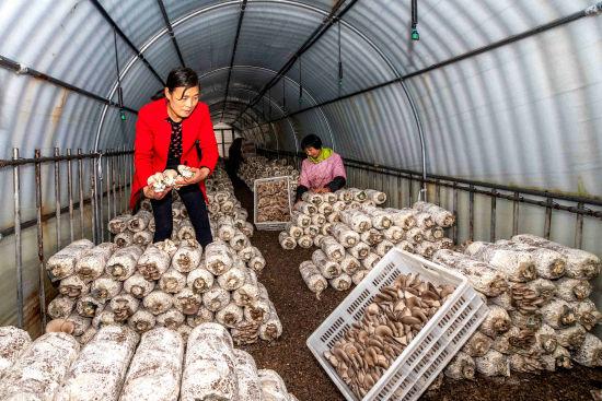 农行沂源县支行切实加大农户信贷投放力度,积极帮助特色种养专业户发展香菇、平菇等菌类大棚,使农民走上了致富道路。