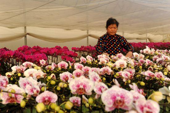 1月14日,山东省枣庄国家农业科技园区里,园工正在整理包装蝴蝶兰盆景。