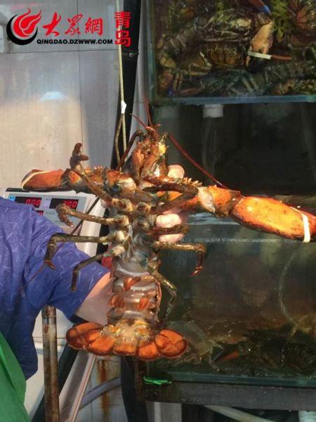 青岛市南山海鲜批发市场上2.6斤重的龙虾。