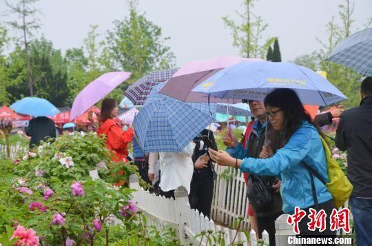 记者当日在现场看到,虽然天空下着淅淅沥沥的小雨,但曹州牡丹园内依然人头攒动,各色牡丹艳若朝霞,满眼花团锦簇。 郝学娟 摄