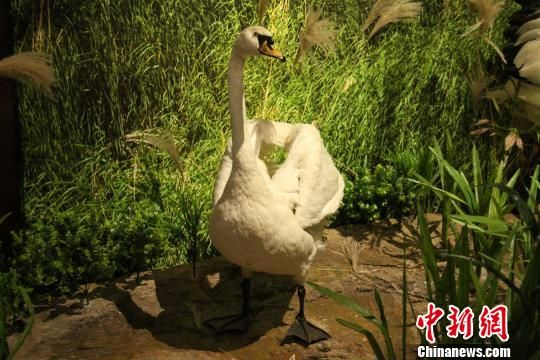 图为黄河三角洲湿地展区的珍稀鸟类标本。 孙婷婷 摄