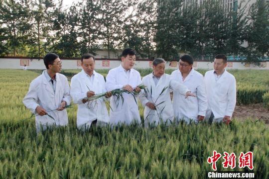 中国工程院院士、山东省农业科学院研究员赵振东和小麦遗传育种团队骨干成员,在育种试验田讨论新品种选育进展情况。(资料图) 刘佳 摄