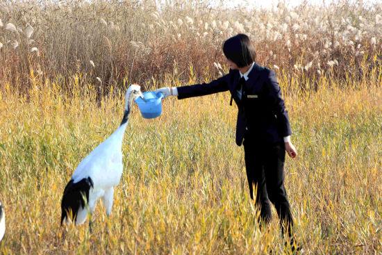 在东营黄河口生态旅游区,工作人员正在喂养丹顶鹤。