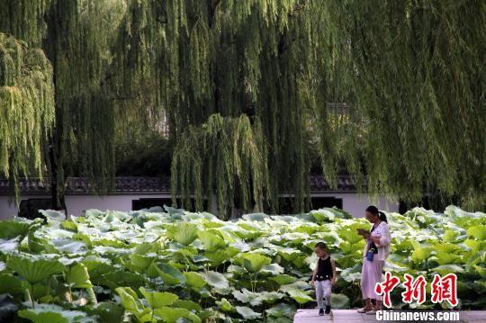 大明湖畔百余亩夏荷盛放 市民共享荷文化大餐
