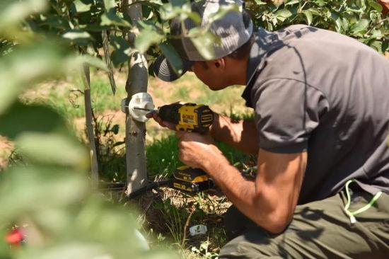 工作人员在烟台一片苹果园里安装Saturas茎水势传感器