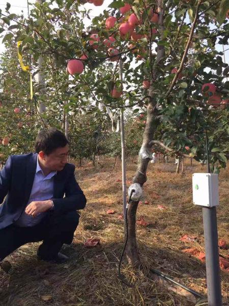 树干上嵌入茎水势传感器的苹果树硕果满枝头
