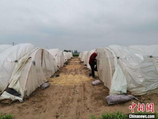 5月12日,记者在济南市黄河镇贾姑庵村田间看到,数十个白色薄膜温棚整整齐齐排列在一起,温棚旁是一片绿油油的麦田。 郝学娟 摄