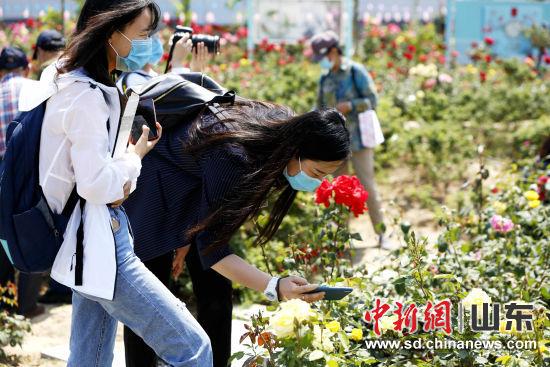 """每年5月,是""""中国玫瑰之乡""""济南平阴县的最美时节,各地游客欣赏前来欣赏玫瑰花姿,了解玫瑰文化。沙见龙 摄"""