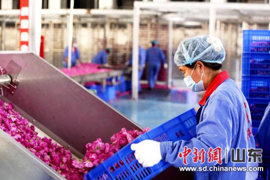 在玫瑰加工车间内,工人将玫瑰花倒入运送设备进行筛选。 沙见龙 摄