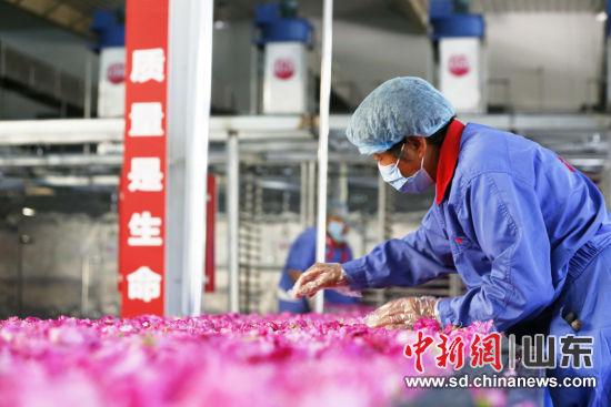 在玫瑰加工车间内,工人们分拣运送带上的玫瑰花。沙见龙 摄