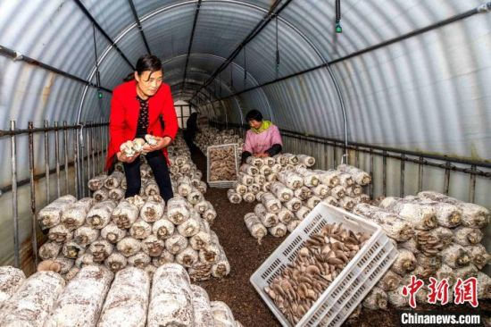 资料图:银行加大农户信贷投放力度,积极帮助特色种养专业户发展香菇、平菇等菌类大棚,助力农民致富。 陈鹏 摄
