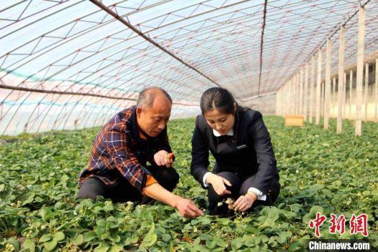 金融机构助力草莓采摘乡村游市场日益火爆,帮助农家乐旅游脱贫致富。 陈明强 摄