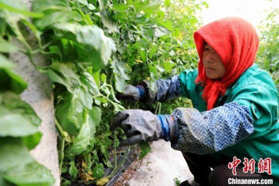 金融机构帮助菜农发展蔬菜产业。 王殿昌 摄