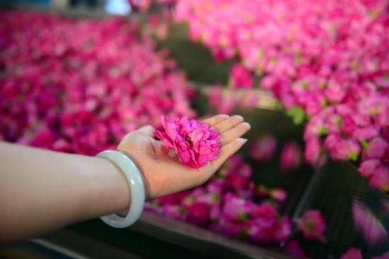 玫瑰当选济南市花有何深意?