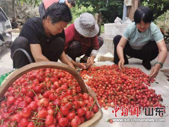 果农们正在分拣樱桃。刘小敏 摄